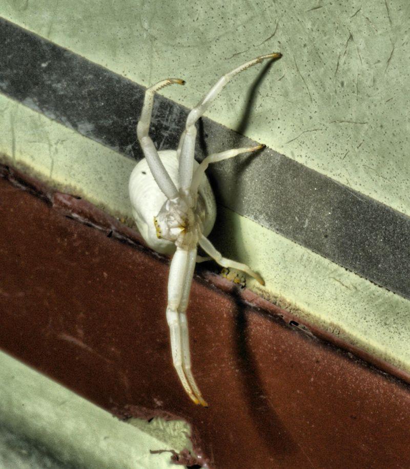 White crab spider Misumena vatia (4)