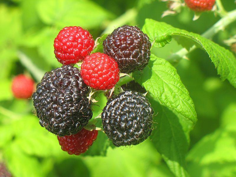 Raspberries_2